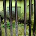 rhinos at ueno zoo in Ueno, Tokyo, Japan