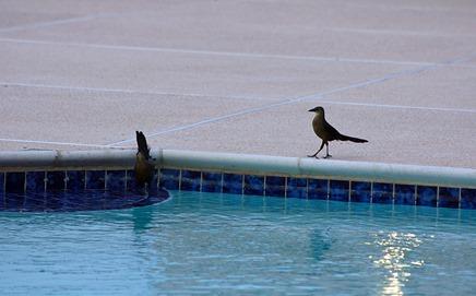 Grackles at pool
