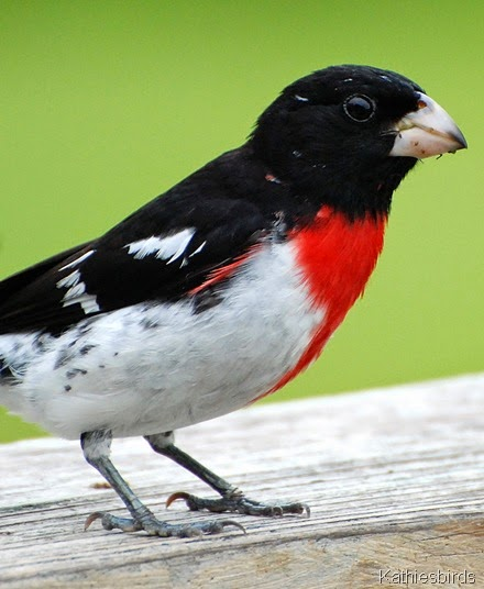 6. rosebreasted grosbeak-kab