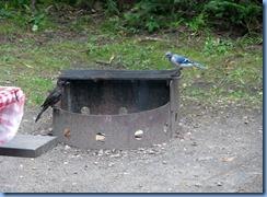 7263 Restoule Provincial Park - blue jay & blackbird in our campsite