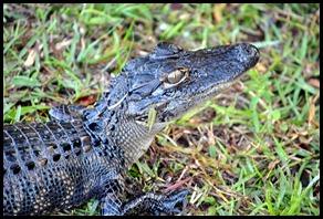 01b5 - Alligator - Little Alligator