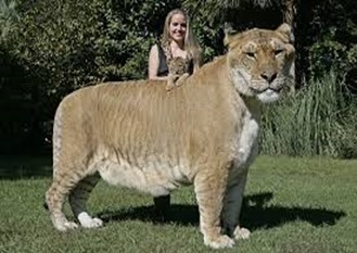 Amazing Pictures of Animals, photo, Nature, exotic, funny, incredibel, Zoo, Liger, Hybrid, Alex (12)