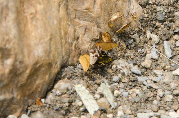 Au premier plan : probablement Hesperocharis marchalii (GUÉRIN, 1844). Nord de Coroico à 1000 m d'alt. (Yungas, Bolivie), 17 octobre 2012. Photo : C. Basset