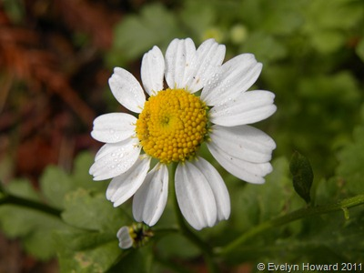 white daisy © Evelyn Howard 2011