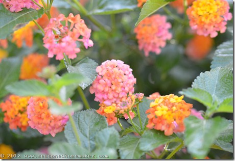 Lantana 1
