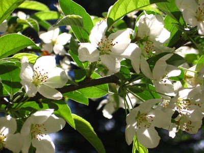 Crab apple blossoms Ideas in Bloom