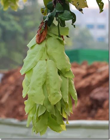 maniltoa browneoides (2)