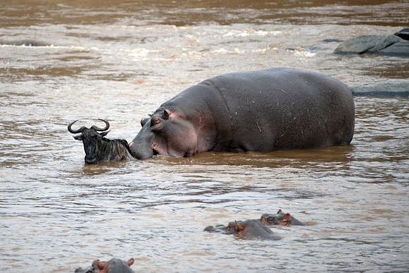 hippo-wildebeest_1826430i