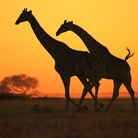 Giraffe run - Golden Freedom by Dries Alberts - Animals Other Mammals ( freedom, yellow, backdrop, contrast, free, inspiration, nature, iconic, safari, wonder, action, agile, motion, light, black, markings, wild, contour, instinct, alert, majestic, horizon, symbolic, sunlight, dusk, mammal, magnificent, grace, outdoors, natural, golden, unique, neck, colorful, splendor, quick, screensaver, wildlife, outline, run, life, survive, giraffe, gorgeous, harmony, plain, africa, inspire, classic, animal, icon, speed, beautiful, fantastic, field, color, sunset, background, peace,  )