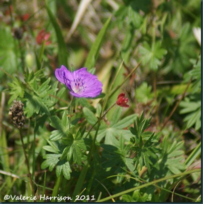 24-cranesbill