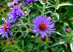 1409157 Sep 15 Aster Woods Blue