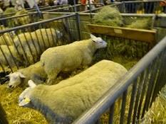 2015.02.26-002 mouton Texel