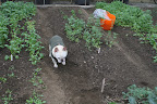 Ryan, here's an empty bed for planting more spinach.  We want to have plenty to last all winter.