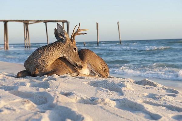 Deer Relaxes in the Gulf Surf