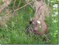 2005.05.18-036 porc-épic arboricole