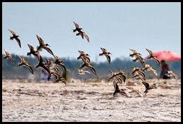 02c - Shore Birds