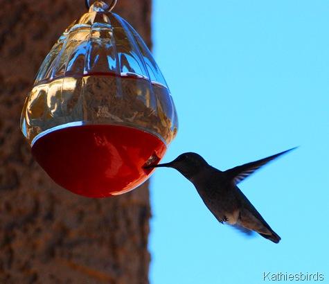 1. anna's hummingbird-kab