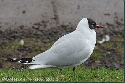 3-black-headed-gull