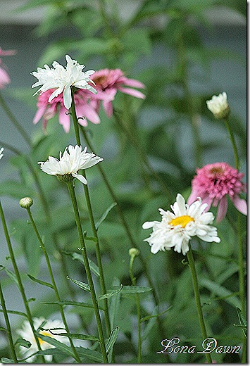Daisy_Crazy_Echinacea