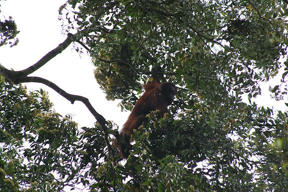 Orang-outan femelle dans la canopée. Sukau, lot n°2. 5 août 2011. Photo : J.-M. Gayman