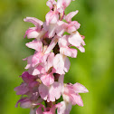 Early purple Orchid (pink form)