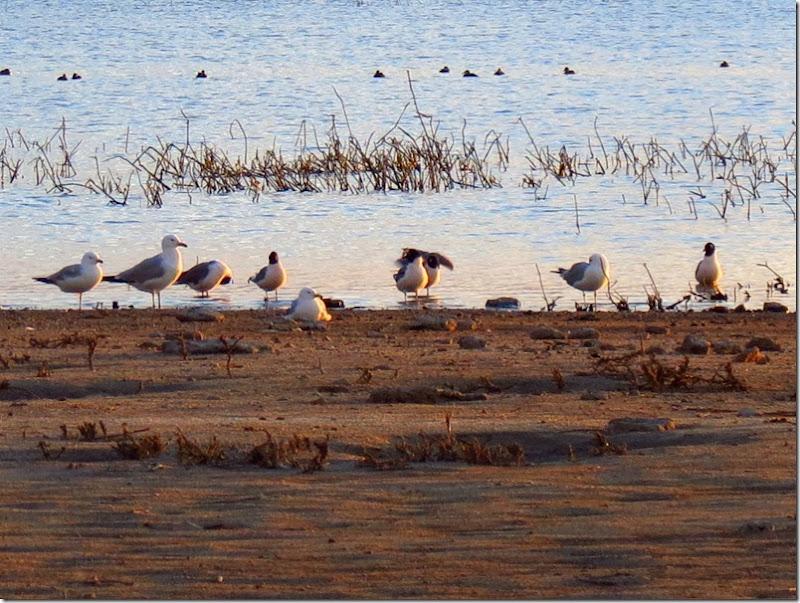 Gulls 1