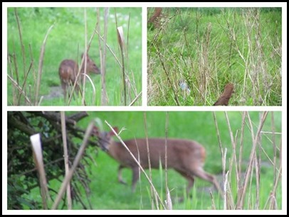 K Deer and Stoat
