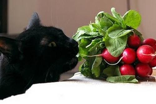 vegetarian-cat