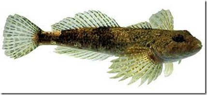 Cottus hispaniolensis