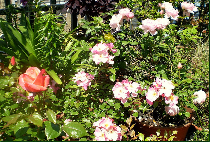 humedad,rosas 010
