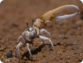 male-fiddler-crab-waves-claw-for-attention-400x302