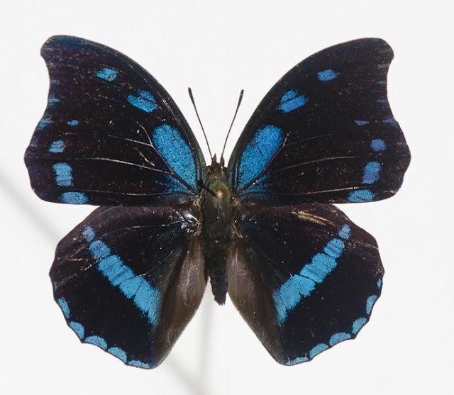 Charaxes doubledayi AURIVILLIUS, 1898, mâle. Ebogo, avril 2013. Coll. et photo : C. Basset