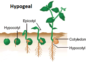 Hypogeal Seed Germination