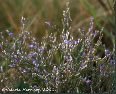 17-sea-lavender