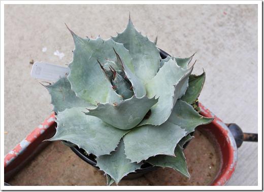 130413_RBG_Agave-ovatifolia-Frosty-Blue_06