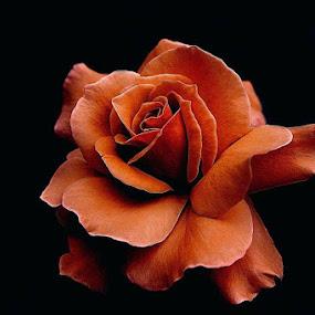 by Muhammad Amin Zia - Flowers Single Flower