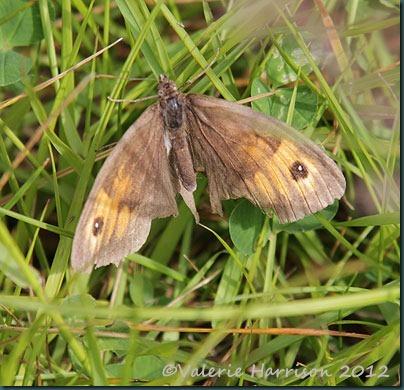 50-Meadow-Brown