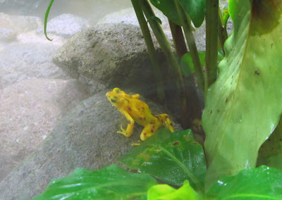 the famous Panamanian golden frog