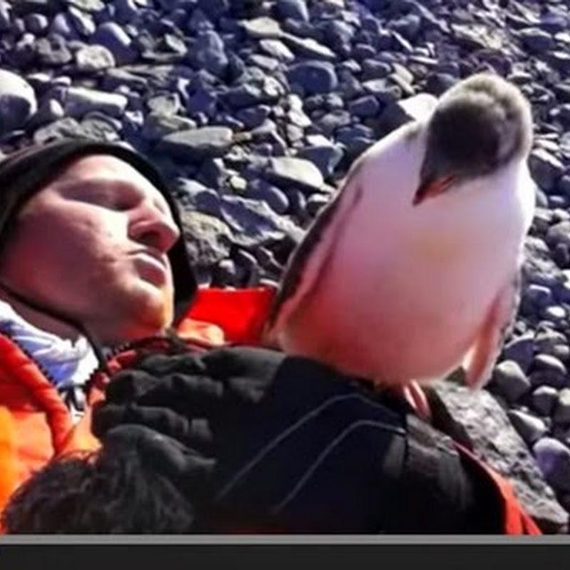 Μωρό πιγκουίνος συναντά ανθρωπο για πρώτη φορά