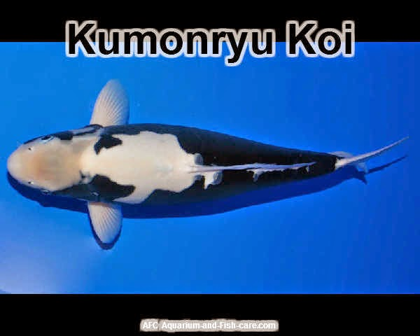 How many goldfish in my 50 gallon aquarium goldfish and koi for Kumonryu koi fish