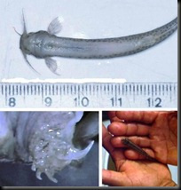The invisible blog candiru asu a terrifying fish for Candiru fish facts