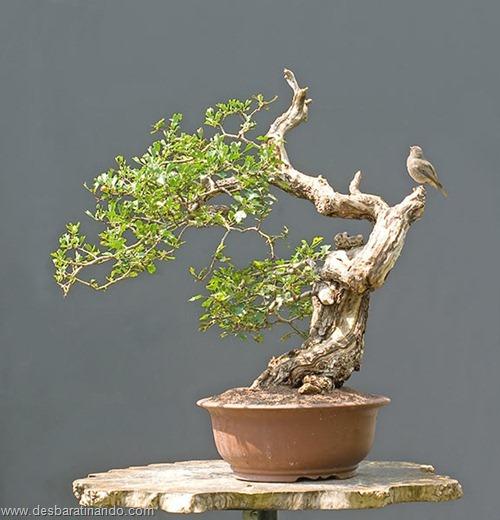 bonsais arvores em miniatura desbaratinando (86)