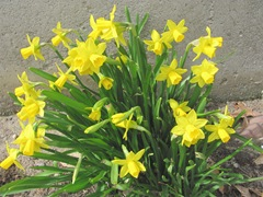 daffodils little near kitchen