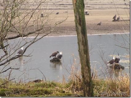 Eagles in the bay