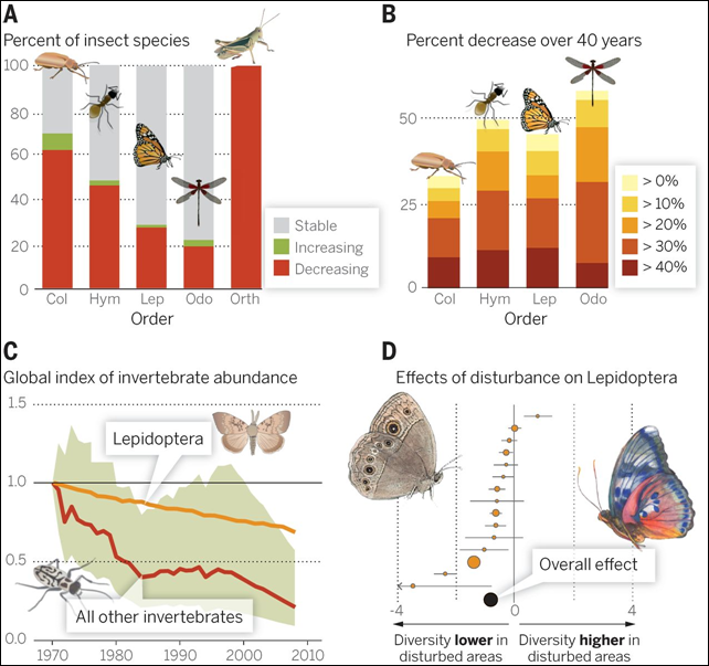 Evidence of declines in invertebrate abundance. (A) Of all insects with IUCN-documented population trends, 33 percent are declining, with strong variation among orders. (B) Trends among UK insects (with colors indicating percent decrease over 40 years) show 30 to 60 percent of species per order have declining ranges. (C) Globally, a compiled index of all invertebrate population declines over the past 40 years shows an overall 45% decline, although decline for Lepidoptera is less severe than for other taxa. (D) A meta-analysis of effects of anthropogenic disturbance on Lepidoptera, the best-studied invertebrate taxon, shows considerable overall declines in diversity. Graphic: Dirzo, et al., 2014
