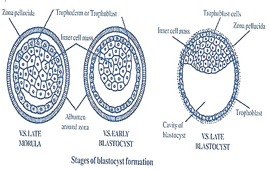 blastocyct-rabbit-embryo