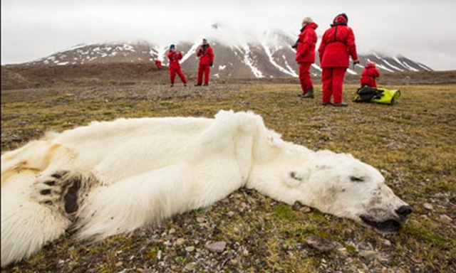 Found in Svalbard in 2013, this 16-year-old male polar bear died of starvation resulting from the lack of ice on which to hunt seals. Photo: Ashley Cooper / Global Warming Images
