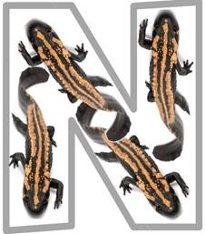 N newt