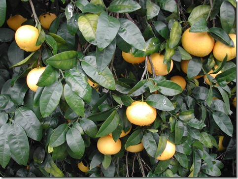 Grapefruit on the world's most reliable tree; it bears abundant fruit year after year with almost no inputs.