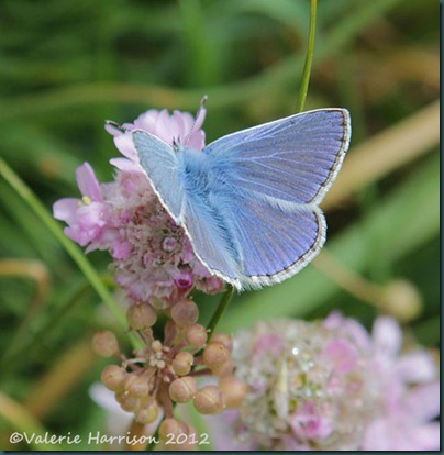 52-common-blue